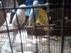 Full adult Budgerigar bird
