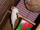 Finch Bird 9 pic