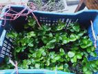 American hybrid festivul strawberry gacher chara