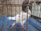 3 pis very good pigeon for sale