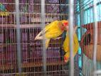 yellow love bird