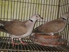 অস্ট্রেলিয়ান ঘুঘু (Dove)