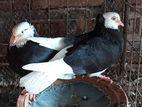 Gorra pigeon