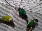 Apple conure singel and pairs