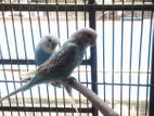 Adult Male Budgerigar Sell