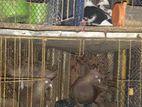 একজোড়া ময়ূরপঙ্খী কবুতর বাংলা জোড়া