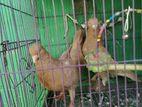 ঘিয়া সুলি কবুতর রানিং মাদি টার পায়ে ফুল ফেদার
