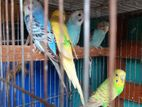 Budgerigar running male female and baby pair