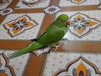 indian ringneck half tame plus talking parrot