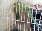 ringnack breeding pair