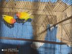 running love bird