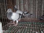 Racher pigeon