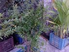 ডালিম গাছ(Pomegranate Tree)