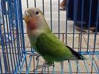 LOVE BIRD (BABY)