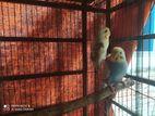 budgerigar master pair
