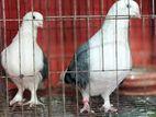 pigeon/কবুতর রাশিয়ান এন্জেল