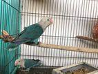 Love Bird Master Pair