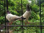 Pakistani highflyer Teddy pigeons male