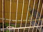 প্রাপ্তবয়স্ক ককাটেল জোড়া