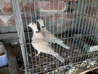 Australia Dove