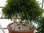Indoor bonsai tree with tob(chinese jade)