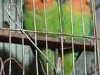 adult breeder pair lovebird for sale