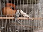 adult budgerigar