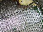 full adult bird