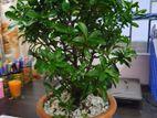 Curtain fig bonsai tree ( 4 years)