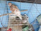 Australian dove chick pair ( ghugu pakhi)