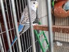 New adult budgie