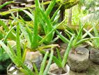 Aloevera / ঘৃতকুমারী অ্যালভেরা