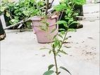 BARI Alubokhara plant