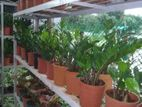 zz plant oxygen supply