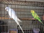 Bajigar Bird