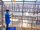 কক্সবাজারের নিরাপদ ছুরি শুটকি