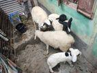 Australian dorper sheep