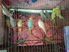 bazrigar Birds