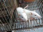 rat pair sale
