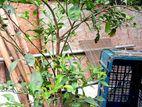 কমলা সহ গাছ Orange tree