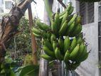 ছাদ বাগানে সাগর কলাগাছ (Banana tree)