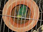 ৫ টা ডিম ও খাঁচা সহ ১ জোড়া বাজ্রিগার পাখি