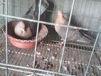 2 jora suachondon pigeon.