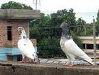 রানিং গিরিবাজ কবুতর একটি বাচ্চা সহ বিক্রি করব