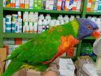 rainbow lorikeet.