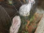 Rabbit Sell