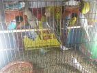cockatiel birds & budgerigar
