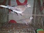 ঘুঘু পাখি (জোড়া)