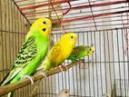 Colourful Bazrika Bird (Adult)