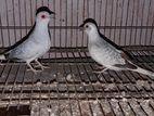 Daimond Dove running pair